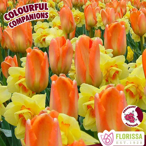 Tulipes mix 'Sun Shower'