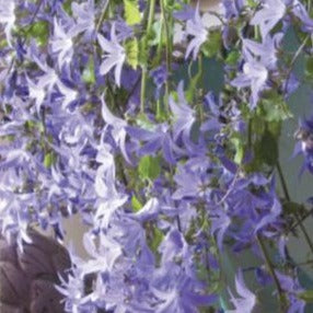 CAMPANULA portenschlagiana 'Blue waterfall'