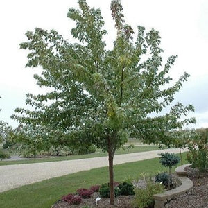 Érable argenté 'Silver Cloud' (Acer saccharinum 'Silver Cloud')