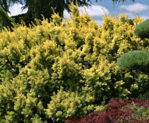 If 'Dwarf's bright gold' (Taxus cuspidata 'Dwarf's bright gold')