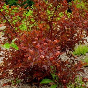 Physocarpe 'Coppertina' (Physocarpus opulifolius 'Coppertina' PW)