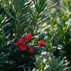 If 'Hicksii' (Taxus media 'Hicksii')