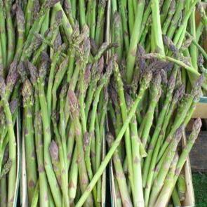 Asperge 'Jersey Giant' (Asparagus 'Jersey Giant')