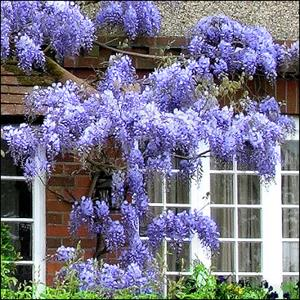 Glycine 'Blue Moon' (Wisteria floribunda 'Blue Moon')