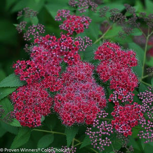 Spirée japonaise 'Double Play Red' (Spiraea japonica 'Double Play Red' PW)