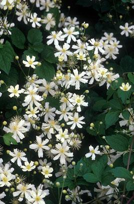Clématite 'Summer Snow' (Clematis 'Summer snow')