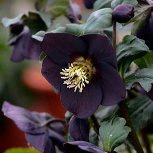 HELLEBORUS hybride 'New-York Night'