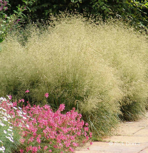 "DESCHAMPSIA cespitosa ""Goldtau"""