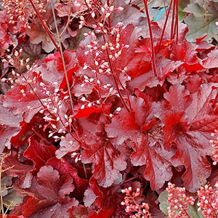 HEUCHERA 'Forever Red'