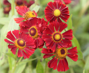 HELENIUM autumnale 'Ruby Tuesday'