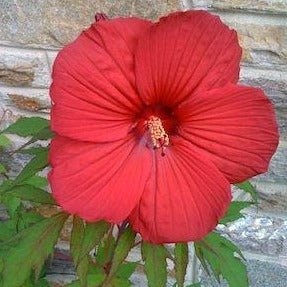 HIBISCUS moscheutos 'Lord Baltimore'