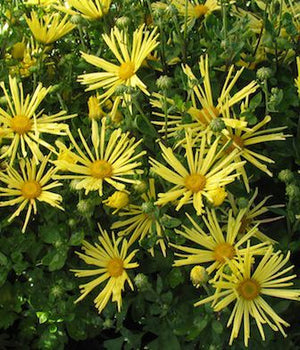 CHRYSANTHEMUM mammoth 'Yellow Quill'