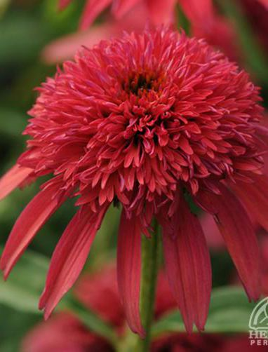 ECHINACEA X 'Double Scoop Cranberry'