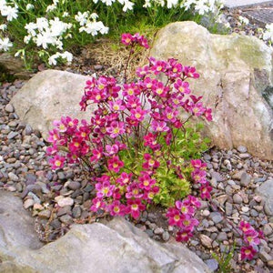 SAXIFRAGA arendsii 'Purple Robe'