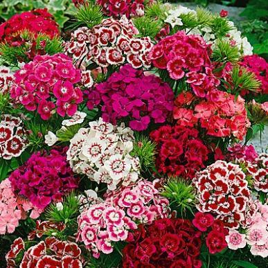 DIANTHUS barb  'Indian Carpet'