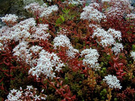 SEDUM album 'Red Ice'