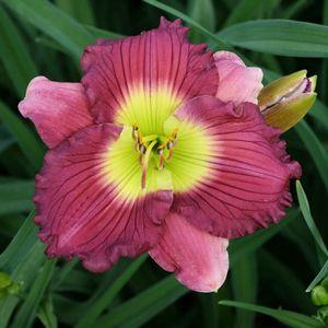 HEMEROCALLIS 'Super honnor'