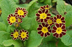 PRIMULA  eliator Gold Lace 'Red'