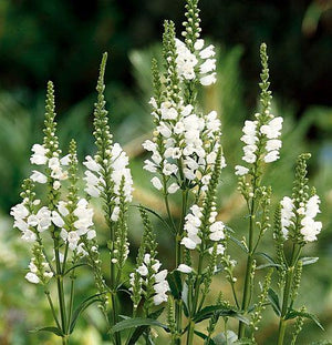 PHYSOSTEGIA virginiana 'Snow Crown'