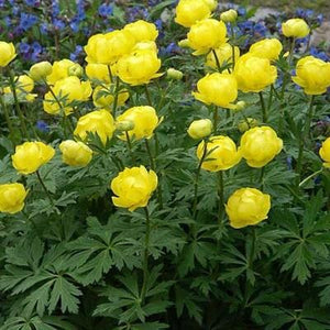 TROLLIUS cultorum 'Lemon Queen'