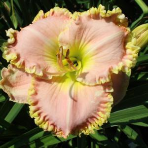 HEMEROCALLIS 'Pincess Diana'