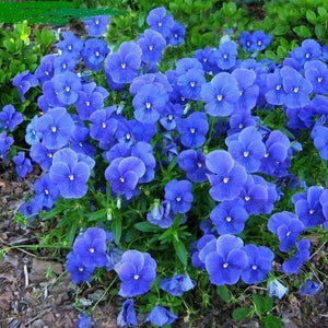 VIOLA 'Perfection Blue'