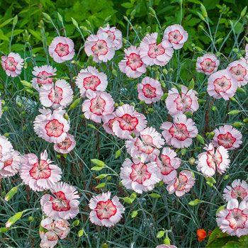 DIANTHUS 'Georgia Peach Pie'