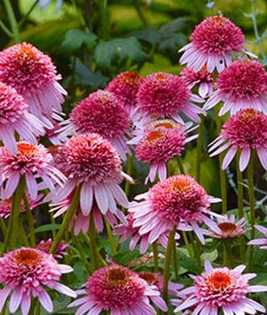 ECHINACEA Butterfly 'Kisses'
