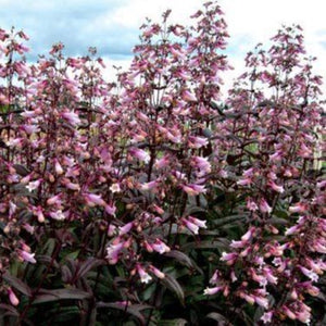 PENSTEMON digitalis 'Dark Towers'