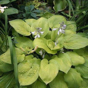 HOSTA plantaginea 'August Moon'