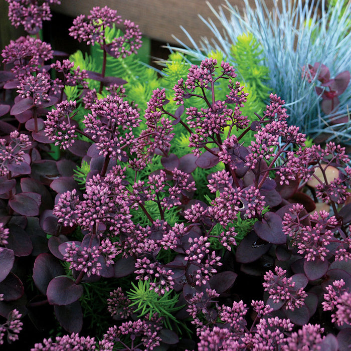 SEDUM album 'Cherry Tart'