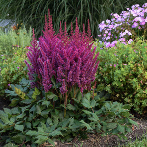 ASTILBE  chinensis 'Visions' (1 gallon)