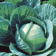 Cabbage, Green - Storage #4