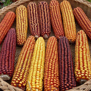 Heirloom Corn for Tortillas - 3 pounds