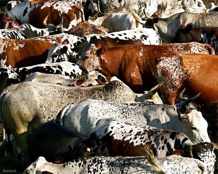 The Nguni Cattle