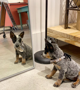 Small grey and brown puppy sitting in front a white frame mirror on a concrete floor. wood furniture is visibile in the background and mirror reflection. Puppy has wood grain print fabric triangle bandana around its neck.