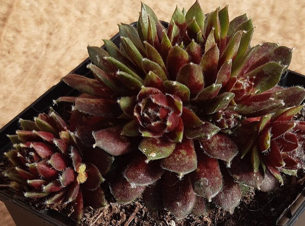 Sempervivum 'Silberkarneol'