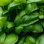 Herb, fresh basil (local by Ritter Greenhouse) - 4oz. ITEM 3364