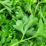 Herb, Parsley, curly leaf - 1 bunch ITEM 6338