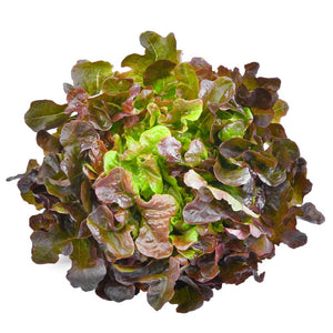 Oak Lettuce Red