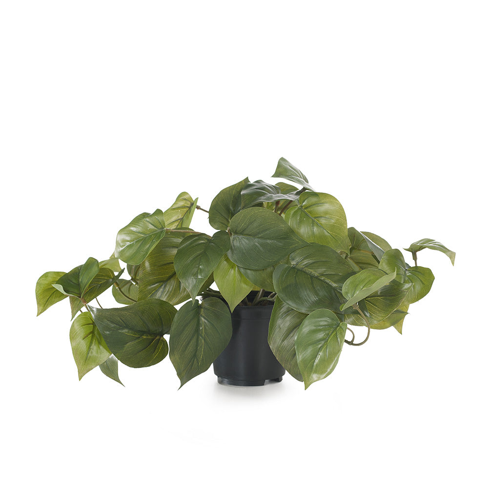 Philodendron in Pot
