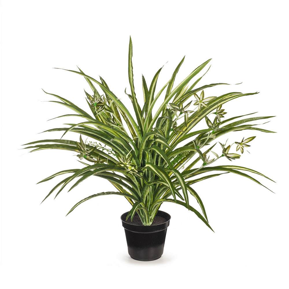 Spider Plant Potted