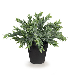 Ruscus Bush Potted