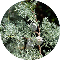 Guardian Cypress Spagyric Tincture - Wild Herbal