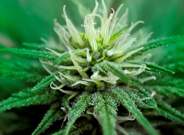 Cannabis glandular trichomes alter morphology and metabolite content during flower maturation