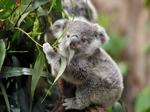Koala Bear eating Eucalyptus Leave