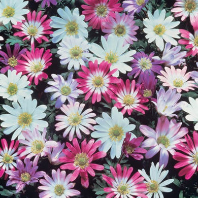 Anemone Blanda Mixed Bulbs - UCSFresh