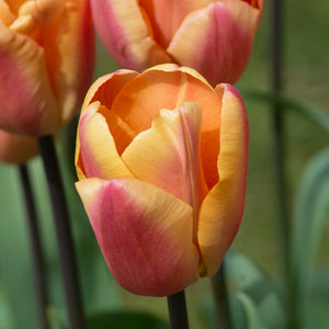 Apricot Foxx - Single Early Tulip Bulbs - UCSFresh