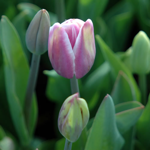 Atlantis - Single Late Tulip Bulbs - UCSFresh
