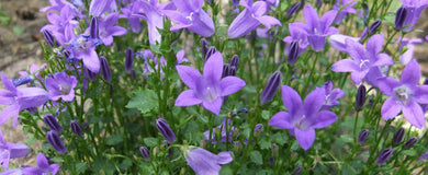 Campanula Get Mee Blue - UCSFresh